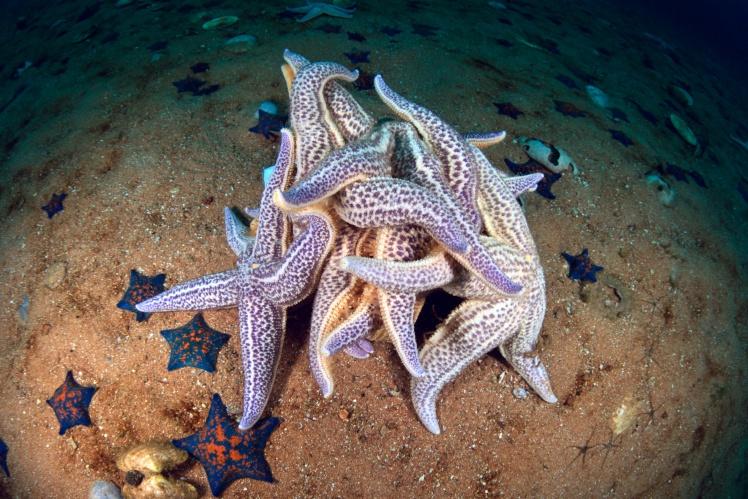 Морські зірки спаровуються в Японському морі.