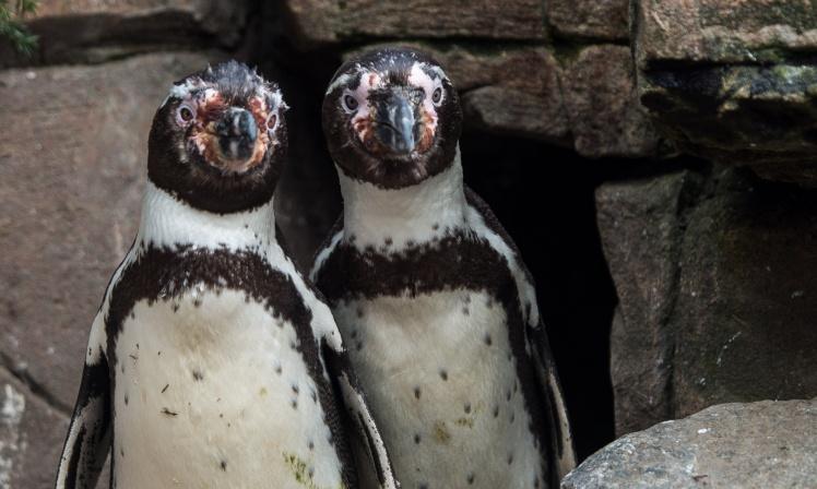 <p>Пингвины-геи Хуан и Карлос из зоопарка Гамбурга.</p>