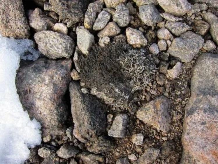 Древний мох из-подо льда на острове Баффетова Земля.
