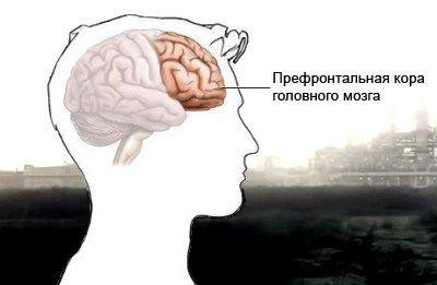 Префронтальная кора головного мозга располагается непосредственно за лобной костью. Один из ее отделов — дорсолатеральный — отвечает за способность человека испытывать и оценивать эмоции