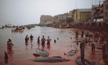 На Фарерських островах мисливці вбили півтори тисячі дельфінів. Це ж жорстоко! Так, але цій традиції сотні років, і так роблять не тільки фарерці. А деяким народам досі важко вижити без полювання