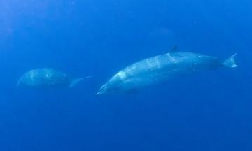 Зоологи у берегов Мексики обнаружили новый вид китов