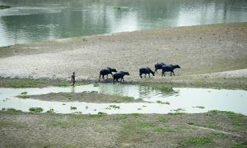 В Індії три п'яні буйволи розкрили схованку з незаконним алкоголем