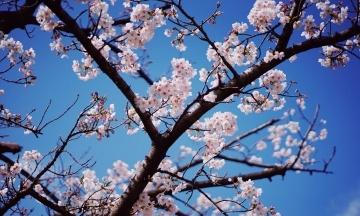 В Вашингтоне пик цветения сакуры наступил раньше на 6 дней, чем 100 лет назад — вероятно, из-за глобального потепления
