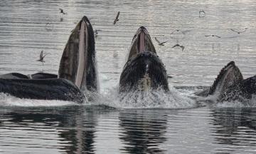Пока коровы приближают глобальное потепление, киты, наоборот, помогают охлаждать Землю, поглощая углекислый газ. МВФ оценивает их пользу для климата в триллион долларов — по материалу BBC