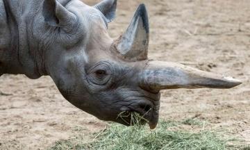 «Прощай, старушка». В зоопарке Берлина умер самый старый в мире черный носорог