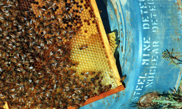 Пчел можно выдрессировать находить мины по запаху. В Хорватии на это потратили годы, подключили дроны и искусственный интеллект. И такой метод, похоже, работает
