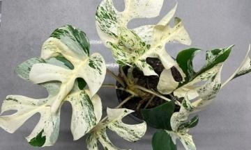 В Новой Зеландии на аукционе продали самое дорогое комнатное растение
