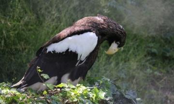 В Венгрии нашли орлана, который пропал в Германии 18 дней назад