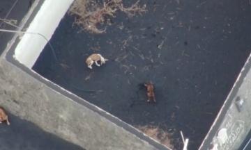 На Канарах дронами хотіли евакуювати собак, які застрягли через вулкан. Їх врятувала таємнича «команда»