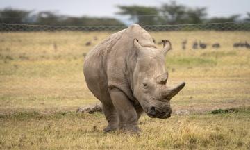 Науковці виключили з програми розведення одного з останніх у світі білих носорогів — «з етичних міркувань»