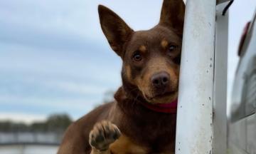 В Австралії фермери продали собаку за рекордні 35,2 тисячі доларів