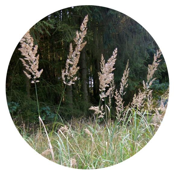 <p>Куничник наземний (<em>Calamagrostis epigejos</em>)</p>