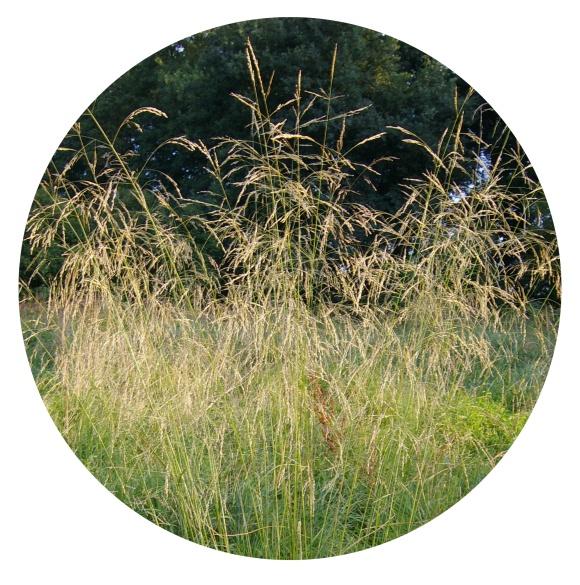 <p>Щучник дернистий (<em>Deschampsia cespitosa</em>)</p>