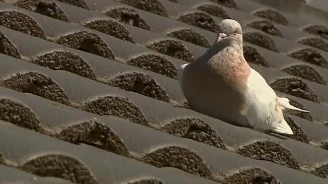 Австралия не убьет «залетного» голубя, названного в честь Байдена. Птица имела американскую отметку, но оказалась местной