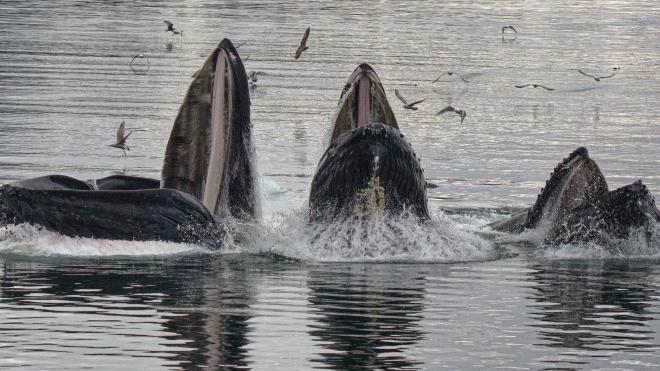 Поки корови наближають глобальне потепління, кити, навпаки, допомагають охолоджувати Землю, поглинаючи вуглекислий газ. МВФ оцінює їхню користь для клімату в трильйон доларів — за матеріалом BBC