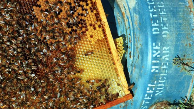 Бджіл можна видресирувати знаходити міни за запахом. У Хорватії на це витратили роки, підключили дрони та штучний інтелект. І такий метод, схоже, працює