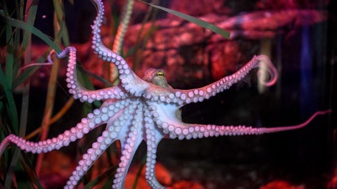 В Великобритании могут изменить политику вылова осьминогов, поскольку они «чувствуют боль и радость»