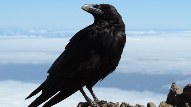 Науковці виявили нові аспекти пташиного інтелекту. Молоді круки можуть змагатися в розумових здібностях з людиноподібними мавпами