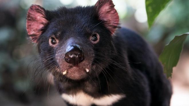 На материковій Австралії знову з'явились тасманійські дияволи. Востаннє вони там були 3 тисячі років тому