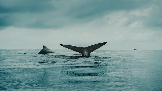 В Шри-Ланке на побережье выбросилось почти 100 китов. Спасатели затолкали их обратно в океан