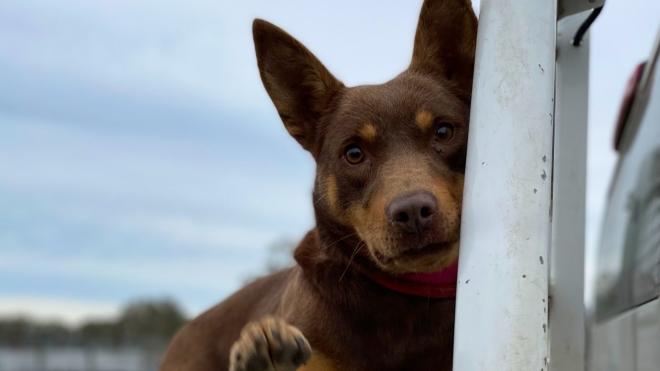 В Австралии фермеры продали собаку за рекордные 35,2 тысячи долларов