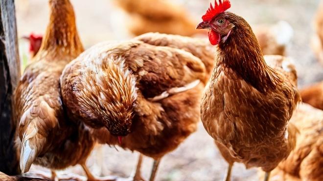 Власти Индонезии раздают живых цыплят жителям, которые хотят прививаться от коронавируса