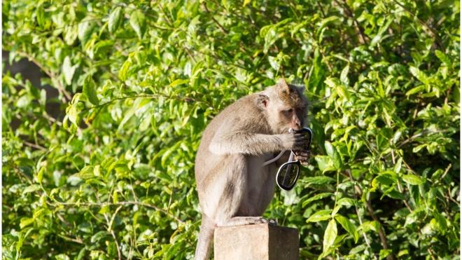 Мавпи розуміються на економіці — за цінні вкрадені речі вони вимагають більший викуп у туристів