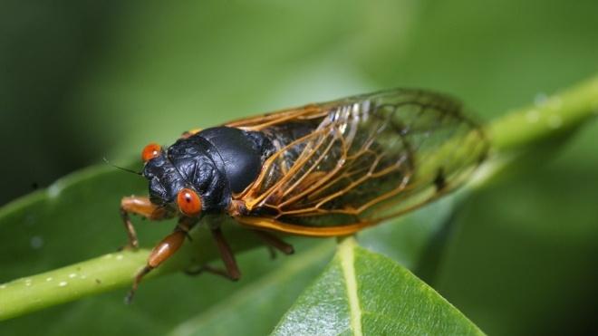 У США через нашестя цикад не зміг злетіти літак із журналістами, які висвітлюватимуть візит Байдена до Європи
