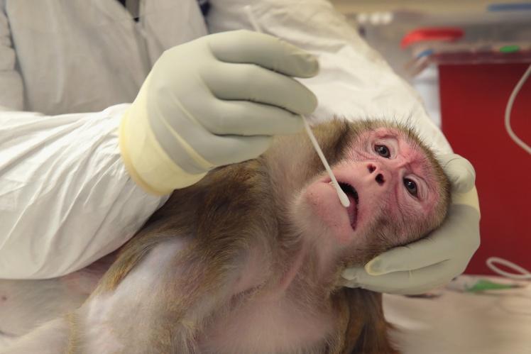 Спеціаліст із досліджень у Національному дослідницькому центрі приматів штату Вісконсин бере зразок слини у вагітної макаки-резус, зараженої вірусом Зіка, 28 червня 2016 року.