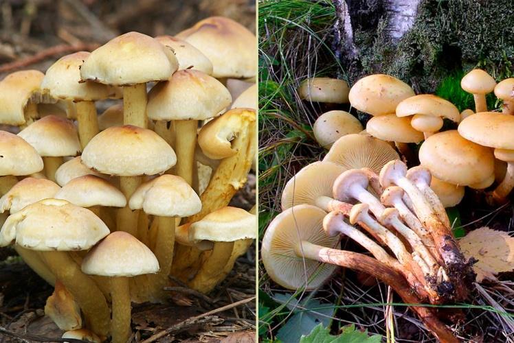 Зліва — отруйні несправжні опеньки, справа — їстівний опеньок справжній.