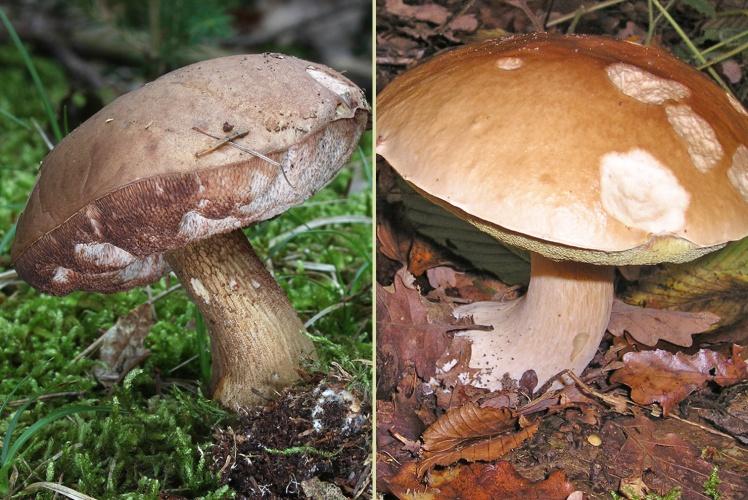 Зліва — неїстівний жовчний гриб, справа — білий.