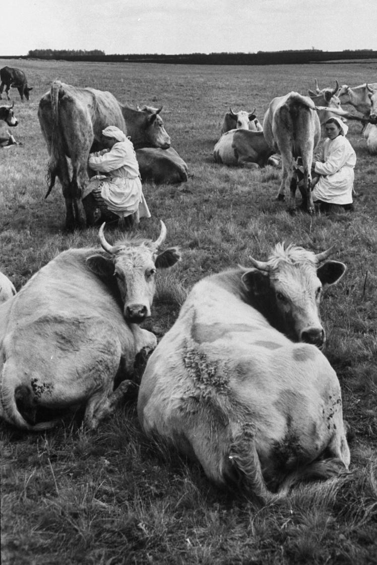 Советские колхозницы доят коров, 1958 год.